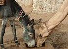 El asno y el camello