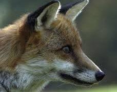 El zorro invalido